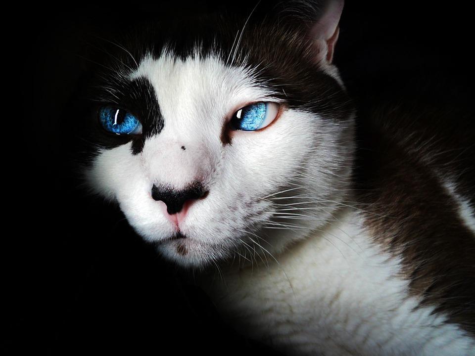 chat aux yeux bleus poux