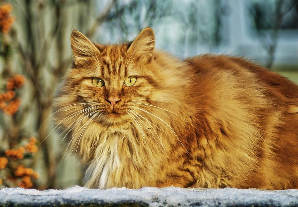 chat roux poux